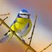 Sýkora modřinka (Parus caeruleus
