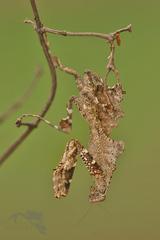 mimikry  predátrora