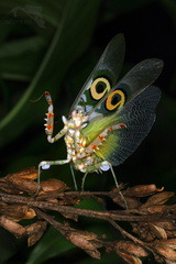 predátor  (Pseudocreoboter Wahlb