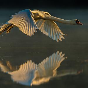 Labuť (Cygnus)