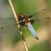 Vážka ploská (Libellula depressa