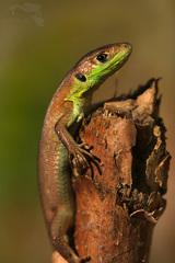 Ještěrka zelená (Lacerta viridis