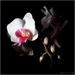 Kvetina (tá z parapetu)