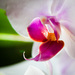 Orchidea II