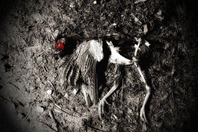 Mŕtvy bažant