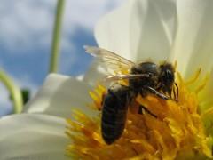 Ublianska včielka