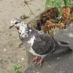 holub zvedavý