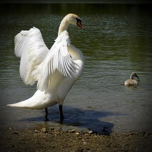 Labuť