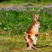 Small and Big Kangaroos