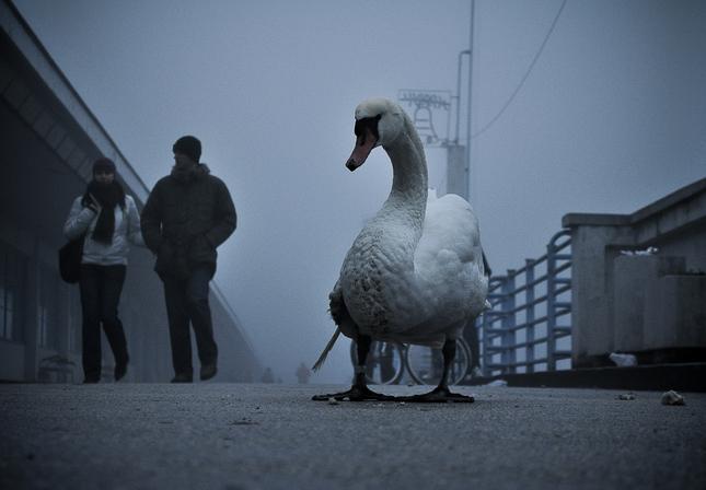 zranena labut