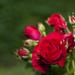 V rozkvete