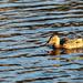 zlatá kačka:)