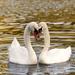 Nežnosť labutí