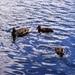 Kačky plavaju v Štrbskom Plese