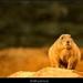 Svišť prériový