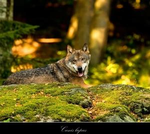 Vlk dravý