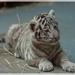 tigrík sibírsky