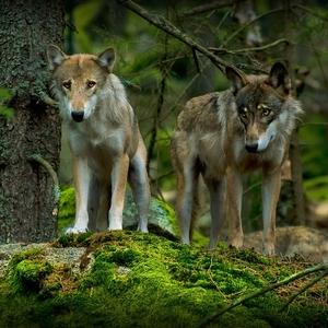 vlci na Šumave