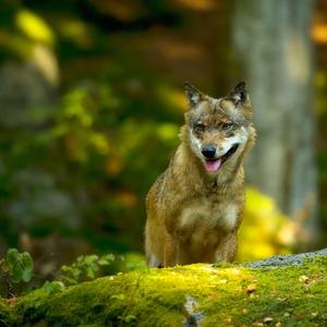 Vlk dravý Ii
