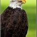 orliak belohlavý