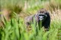 Gorila nizijna