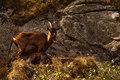 ...Capra Hircus (koza divá)...