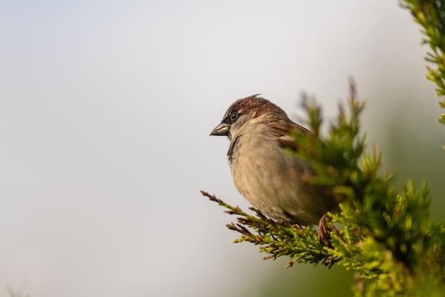 Vrabciak