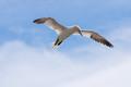 northern gannet(Sula biela)