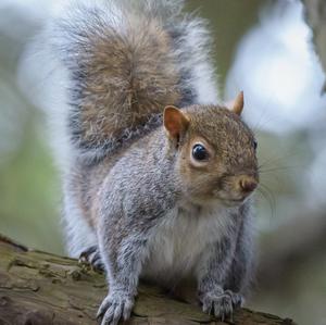Vevericka popolava