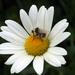 Pilna včielka