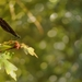 Calopteryx virgo II.