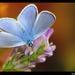 Lapidoptera