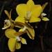 Orchydea