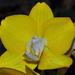 Miss orchydea
