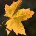 list jesenovic javorov