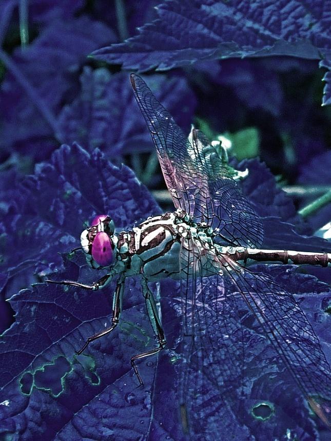 Night dragonfly