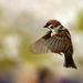 Japonský vrabčiak