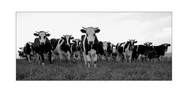 Cow  attack