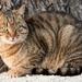 Piešťanská cica