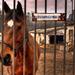 Koník strážca