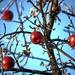 Zamrznuté jablká