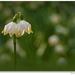 Bleduľa jarná (Leucojum vernum)