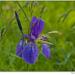 Kosatec sibírsky (Iris sibirica)