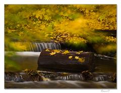 Žlté listy javorov...