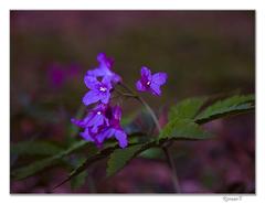 Kvety za svitania