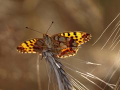 Motýle v obilí