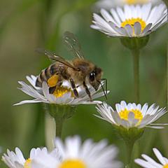 včelie kaskády