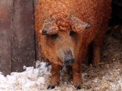 Ryšavá sviňa
