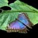 exoticky motylik