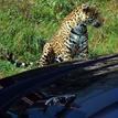 jaguar & jaguar 1